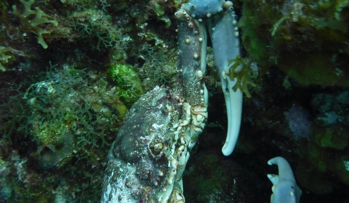 Clinging Crab